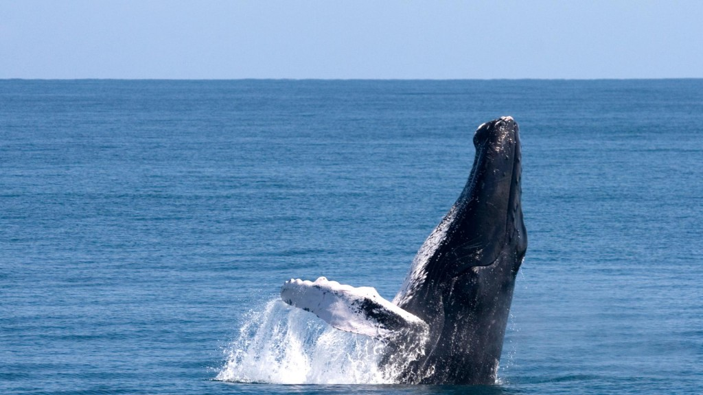 Humpback Whales in the bay of Samaná